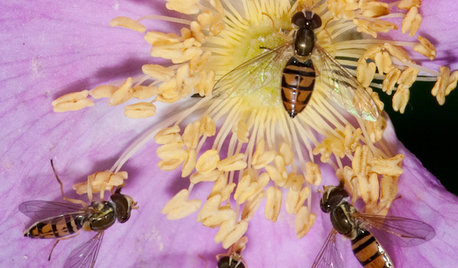 This Fly Is One of the Most Beneficial Insects Around