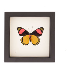 Painted Beautty Framed Butterfly Display