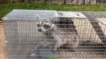 Wildlife Trapping in Needville, TX