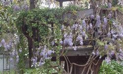 Wisteria Tree House