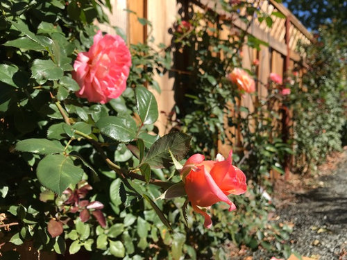 Stagger Pruning Climbing Roses