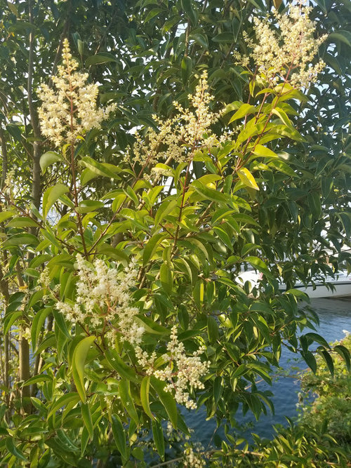 Small Tree Growing On Bank Of Lake With White Flowers