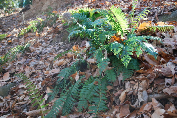 Christmas Fern Natures Gift to the Woodland Garden