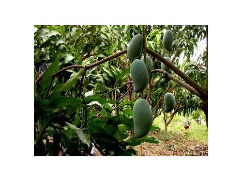 Thai mango varieties