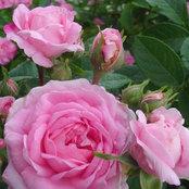 damask_rose_zone9b's photo
