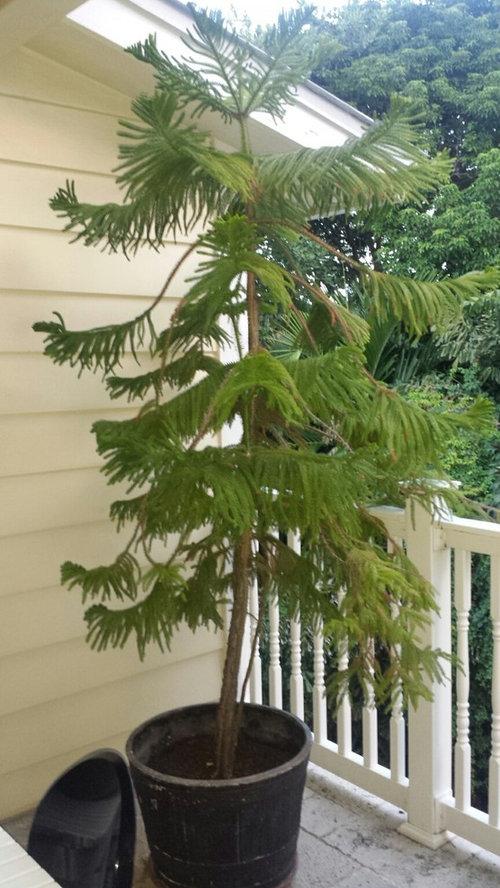 10 To 12 Foot Norfolk Island Pine