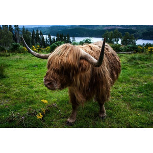 "Pixtury ""Highland Cow"" Photograph, Canvas Print, 40x60 cm"