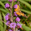 American Lady Butterflies Add Delight to Summer Gardens