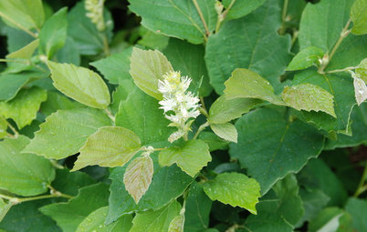 Great Design Plant: Wildlife-Loving Dwarf Fothergilla Blazes in Fall