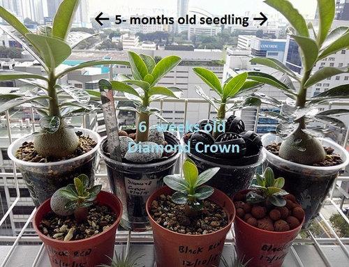 Diamond Crown (Thai Socotranum) baby seedling is so huge!