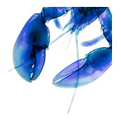 """X-ray Photograph of Blue Lobster  Claws. Mounted Under Acrylic, 20"""" x 24"""""""