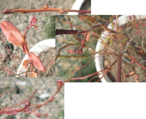 Potted Blueberry Plants Always Die During Winter