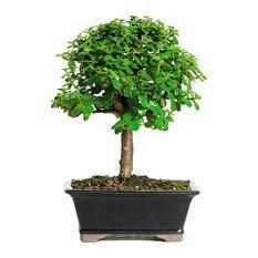 Dwarf Jade  Bonsai Tree