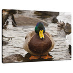 """Pi Photography and Fine Art - """"Mallard Duck at Powder Mill"""" Wildlife Photo Fine Art Canvas Wall Art Print, 24"""" - """"Mallard Duck at Powder Mill"""" Wildlife Photography Limited Edition Collectible Signed Fine Art Canvas Print"""