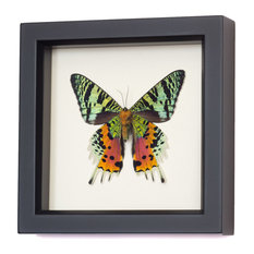 Framed Sunset Moth (underside) Display