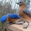 Close up slow motion video of Bluebird pair.