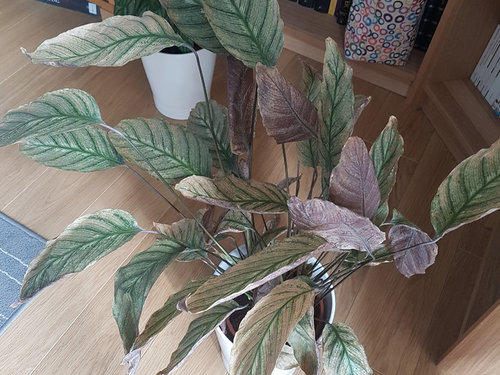 Calathea Dying And White Grain Under Leaves Can I Save It,Small Simple Landscaping Ideas For Front Of House