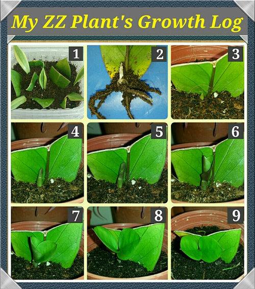 Growth Log Of My Zz Plant Leaf Propagation