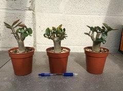 Thai Socotranum growth Vs Obesum/Arabicum growth from seed?