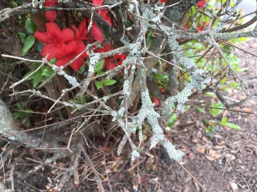Garden Pests and Diseases: Identifying Azalea issue, 1 by ... |Azalea Diseases