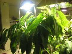Comparison of mh and led light for mango growth