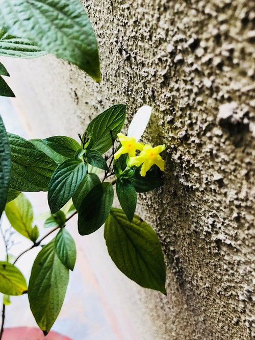 Plant with tiny yellow flowers and a yellow leaf with each flower mightylinksfo
