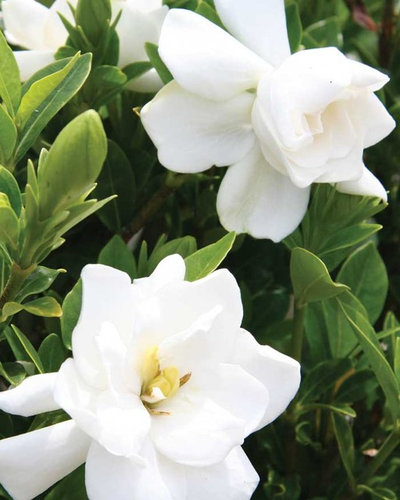 by Southern Living Plant Collection