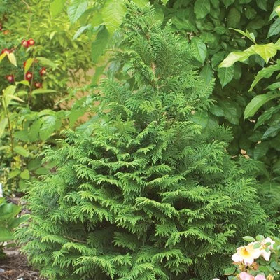 10 evergreens for beautiful foliage all year for Specimen evergreen trees small