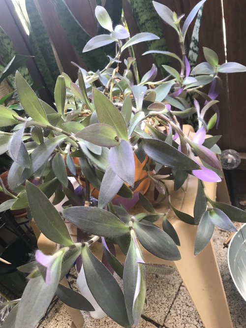 Is This A Type Of Tradescantia
