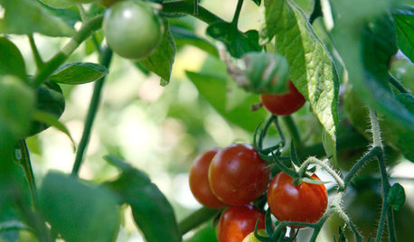 Summer Crops: How to Grow Tomatoes