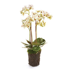 """Phalaenopsis 20"""" Drop-In White and Purple"""