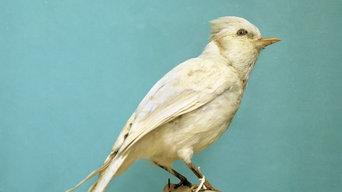 Albino Blue Jay