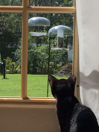 Ideal Coco who is the month old cat of Lee Klenk loves to watch the birds outside and pounce around the grass after insects when she gets the chance