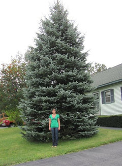 Blue Spruce Dying From Bottom On Up