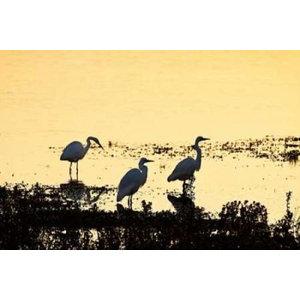 20 x 28 Wetland Herons II Poster Print by Alan Hausenflock