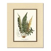 Vintage Botanical Fern Art Print: Chamissos Shield Fern