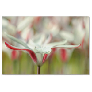 Cora Niele Tulipa Planifolia Canvas Art Contemporary Prints And Posters By Trademark Global