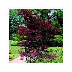 Feature Tree Japanese Maple What Variety Would Work Best