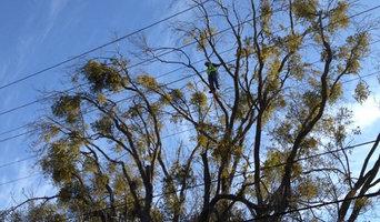 Mistletoe Removal: Before
