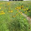 Great Design Plant: Ratibida Pinnata Flutters in the Breeze