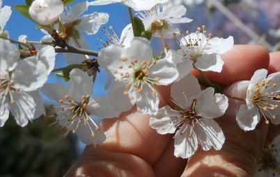 Ciruelo, el frutal ideal para decorar un jardín pequeño