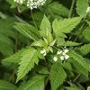 Great Design Plant: Osmorhiza Longistylis Provides Texture and Form