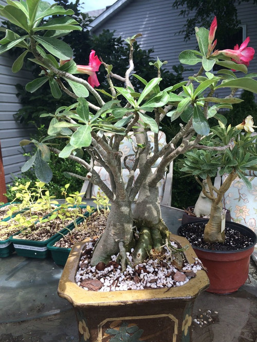 Discovery about my Adenium duo from Lucky Sumo