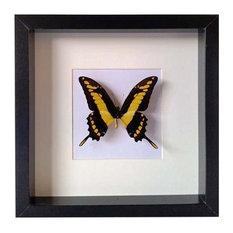 Papilio Thoas Cinyras Framed Butterfly, 25x25 cm