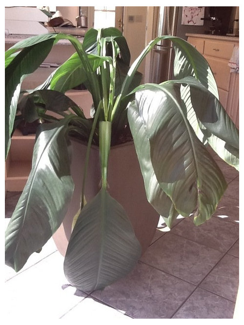 Severely drooping peace lily on wilted rose plant, wilted ivy plant, wilted boston fern plant, wilted daisy plant, wilted pothos plant, wilted poppy plant, wilted aloe vera plant,