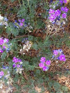 Phoenix Plant Id Purple Flowers Ground Cover Shade