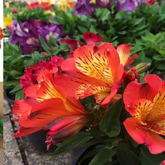 Alstroemeria for Sale - Rich Combination of Flowers that Easily Entices Our Sens