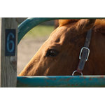 "Pi Photography Wall Art and Fine Art - ""Paddock 6"" Horse Photograph Farmhouse Style Unframed Wall Art Print, 24""x36"" - ""Paddock 6"" Horse Photography - Luster Photo Paper Unframed Wall Art Print"