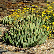 This Low-Growing Succulent Brings Green to Dry Yards