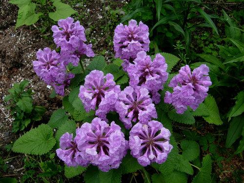 anyone growing stachys monieri hummelo